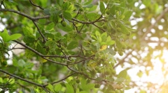 Arbutus unedo (strawberry tree) Stock Footage