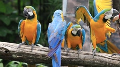 Blue and Yellow Macaw Parrot in Safari World. Bangkok, Thailand Stock Footage