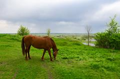 Peasant bay horse is grazed in green meadow Stock Photos