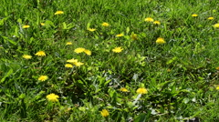 Close-up Dandelions in the Meadow, Taraxacum Stock Footage