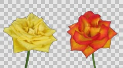 Time-lapse of dying yellow and orange roses with ALPHA channel Stock Footage
