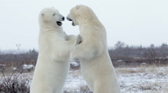 Polar bears sparring in the snow Stock Footage