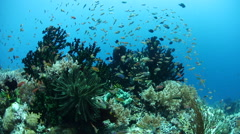 Reef Fish and Corals in Raja Ampat Stock Footage