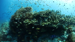 Marine Biodiversity on Reef in Raja Ampat Stock Footage