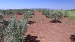 Olive Trees,4K Aerial Clip captured By Drone Cam Stock Footage