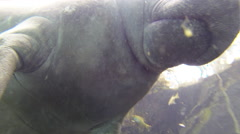 Close up shot from below of a manatee taking a surface breath Stock Footage