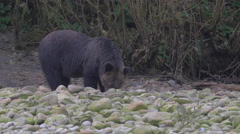 Young grizzly bear searching for food among river bank rocks Stock Footage