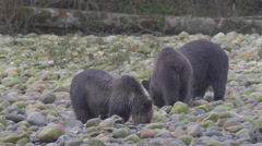 Grizzly sow and two cubs searching for salmon eggs among river bank rocks Stock Footage