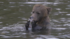Grizzly loses his footing while eating a salmon in the river Stock Footage