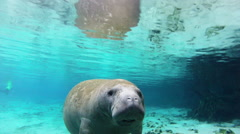 A manatee vocalizing and taking a breath Stock Footage