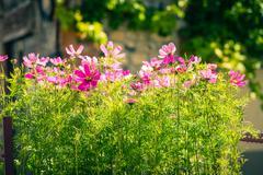 Blooming cosmos flowers Kuvituskuvat