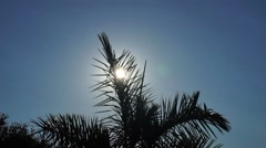 Sun Shining Through Royal Palm Tree Fronds Stock Footage