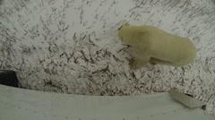Canadian polar bear naps in the snow Stock Footage