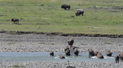 Bison Herd Crosses River Stock Footage