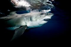 Great white shark. Kuvituskuvat