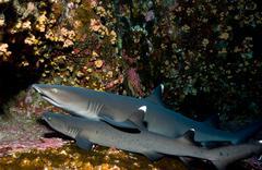 Resting sharks. Kuvituskuvat