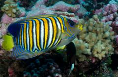 Close-up of Regal angelfish. - stock photo