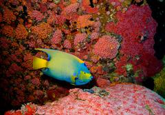 Angelfish on Underwater habitat. Stock Photos