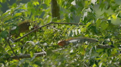 Medium shot of iguanas climbing tree / Esterillos, Punta Arenas, Costa Rica Stock Footage