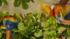 Medium panning slow motion shot of parrots perching in tree / Playa Hernadez, Stock Footage