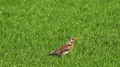 Fieldfare (Turdus pilaris) walking in grass Stock Footage