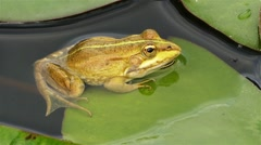 Marsh frog (Pelophylax ridibundus) is the largest frog native to Europe and b Stock Footage