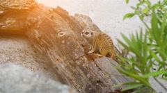 Meerkat (Suricata suricatta) Stock Footage