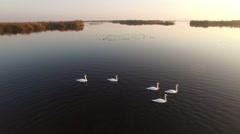 Aerial view of a Flock of Migrating Mute White Swans at sunrise Stock Footage