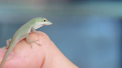 Anoles Lizard Reptile Closeup - stock footage