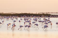 Greater Flamingos (Phoenicopterus roseus) at Sunrise, Saintes-Maries-de-la-Mer, - stock photo