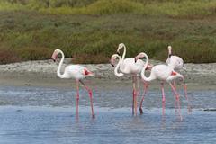 Greater Flamingos (Phoenicopterus roseus), Saintes-Maries-de-la-Mer, Parc - stock photo