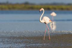 Greater Flamingo (Phoenicopterus roseus), Saintes-Maries-de-la-Mer, Parc Naturel - stock photo