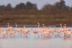 Greater Flamingos (Phoenicopterus roseus) at Dusk, Saintes-Maries-de-la-Mer, - stock photo