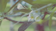 Branche of Tiare Flower ,Gardenia taitensis Stock Footage