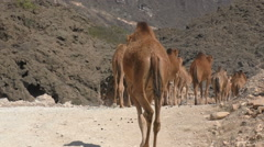 Camel train on a dirt road in the desert of Oman Stock Footage