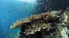 Colorful Reef Fish in Raja Ampat Stock Footage