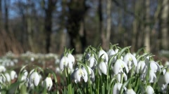 Snow drop in february Stock Footage