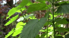 Zoom out of Urtica dioica, often called common nettle or stinging nettle Stock Footage