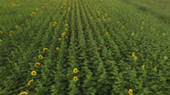 Aerial view over Sunflower field with clear summer sky - stock footage
