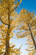 Larch trees Stock Photos