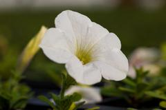Beautiful Petunia  flower close-up on a background of green foliage Stock Photos