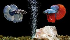 betta fish, siamese fighting fish in aquarium - stock photo