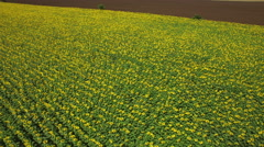 Aerial view over Sunflower field with clear summer sky Stock Footage