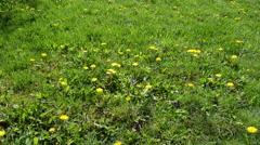 Dandelions in the Meadow, Taraxacum Stock Footage