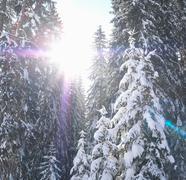 Sun bursting through snow-covered trees - stock photo