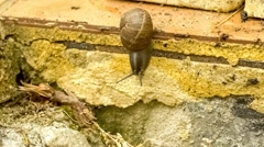 Common garden snail with large antennae gliding down wall, slow motion Stock Footage