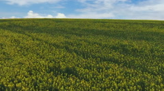 Canola farmland. Spring, Aerial view Stock Footage