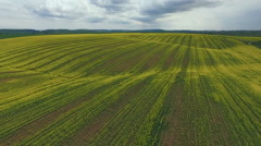Farmland with blooming Canola, Rape. Aerial view - stock footage