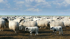 Sheep and lambs Stock Footage