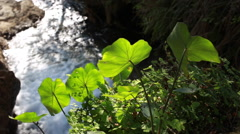 Fresh green leaves, illuminated by sunlight, waving in the wind Stock Footage